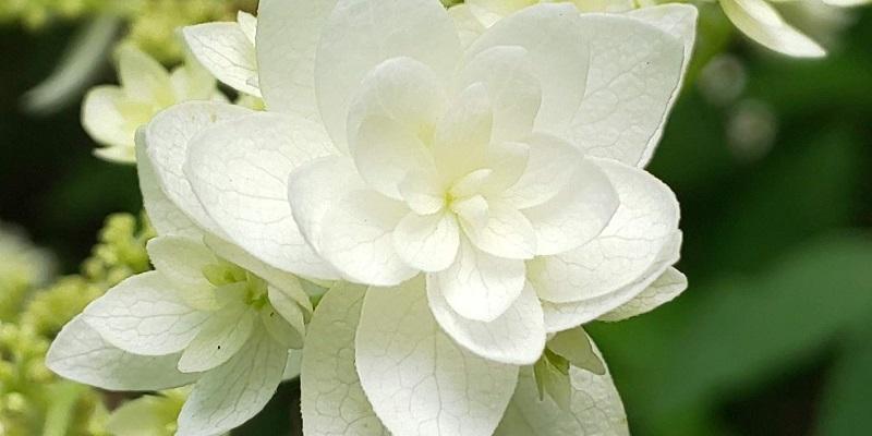 AQUOS R2 compactで撮影したアジサイの花を拡大したもの